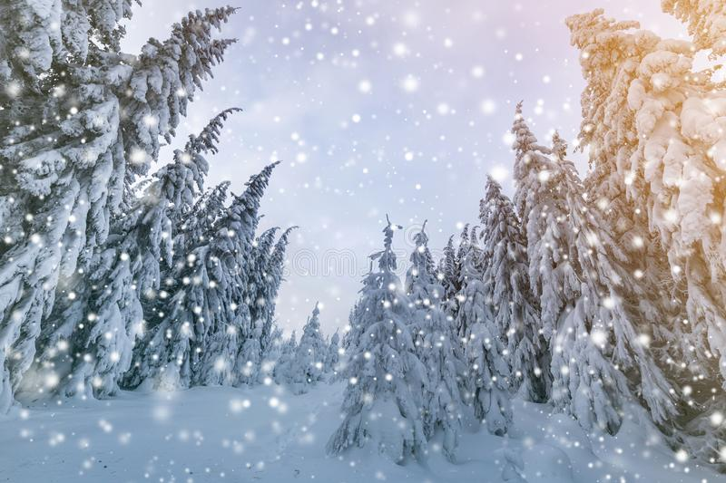 Beautiful winter mountain landscape. Tall spruce trees covered with snow in winter forest and cloudy sky background.  stock photo