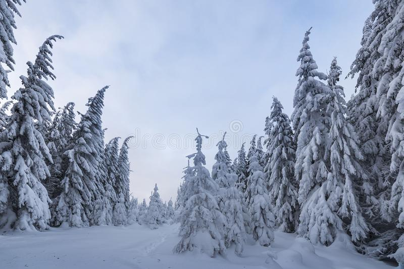 Beautiful winter mountain landscape. Tall spruce trees covered with snow in winter forest and cloudy sky background.  royalty free stock images