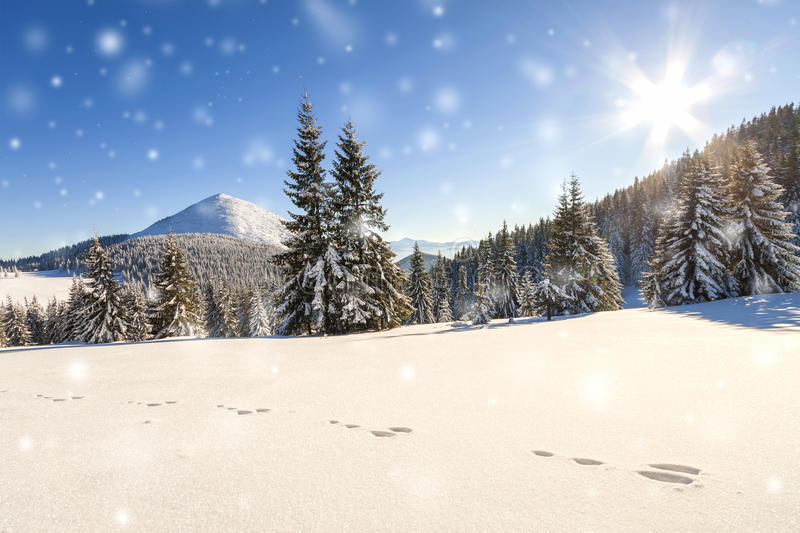 Beautiful winter panorama with fresh falling snow. Landscape wit. H spruce pine trees, blue sky with sun light and high Carpathian mountains on background royalty free stock photo