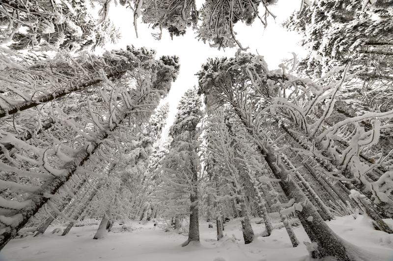 Beautiful winter picture. Tall spruce trees covered with deep snow and frost on clear sky background. Happy New Year and Merry stock photography