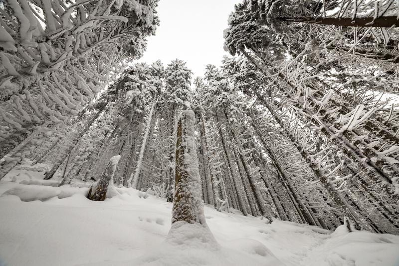 Beautiful winter picture. Tall spruce trees covered with deep snow and frost on clear sky background. Happy New Year and Merry royalty free stock image