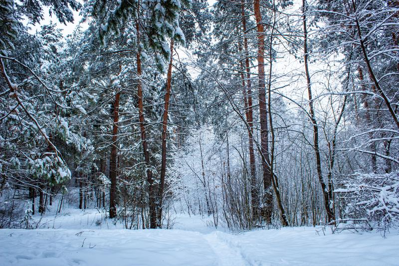 Beautiful winter pine forest in Russia. Winter background. royalty free stock photo
