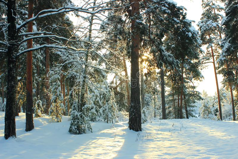Beautiful winter pine forest in Russia. Sunny day stock image