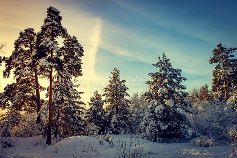 Beautiful winter pine forest in Russia. Sunny day stock images