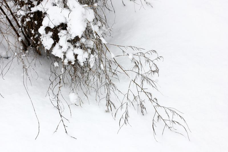 Beautiful winter. Plant in the snow stock image