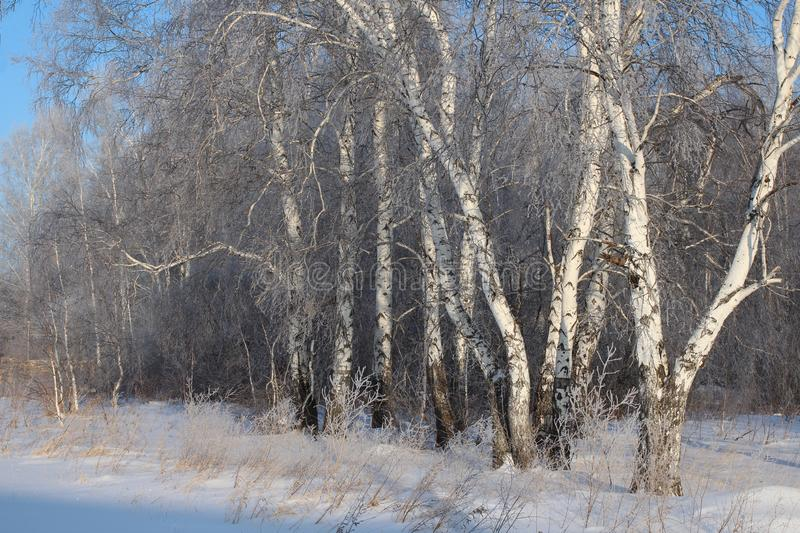 Beautiful winter Russian forest of trees in the snow are birches a magnificent landscape of Siberian nature stock photos