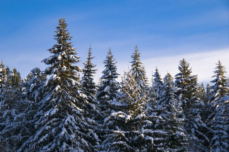 Beautiful winter taiga under bright blue skies. Tops of Christmas trees covered with snow stock photography