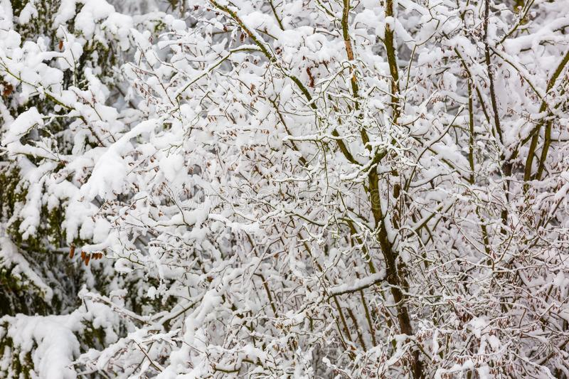Beautiful winter trees branches with a lot of snow. Snow covered trees in winter stock images