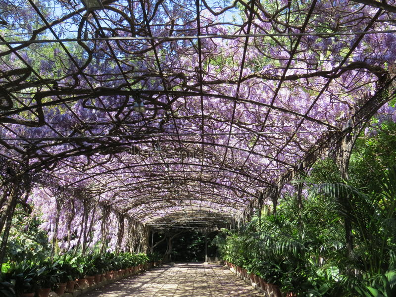 Wisteria laden pergola, Malaga, Spain. A huge Wisteria (sinensis) covered pergola at Malaga botanical garden in full bloom. A sea of lavender coloured royalty free stock photos