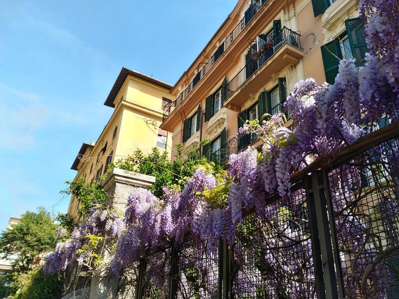 Beautiful wisteria plant in bloom in the Roman spring. In the background, elegant buildings in the historic center stock image