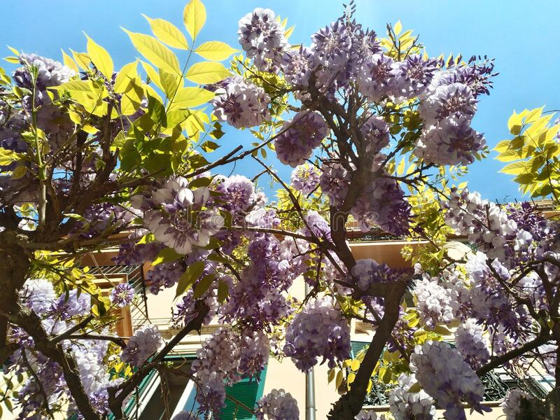 Beautiful wisteria plant in bloom in the Roman spring. In the background, elegant buildings in the historic center stock photo