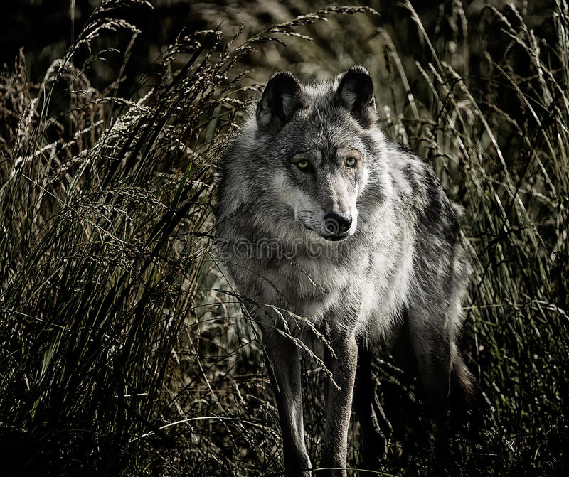 Beautiful wolf on the field stock photos