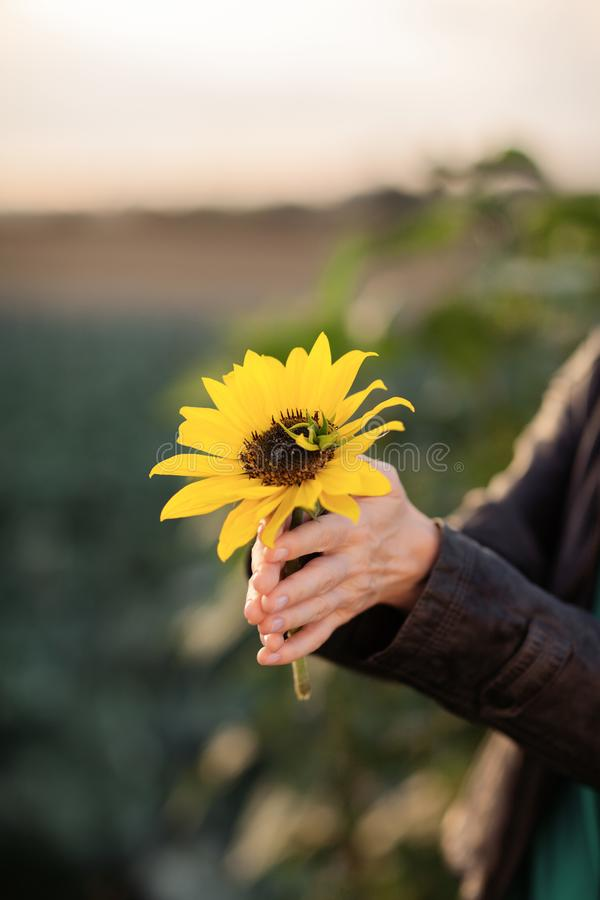 Beautiful woman hands holding sunflower in the evening sunlight royalty free stock photos