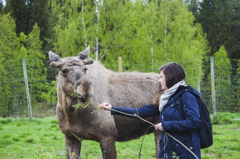 Beautiful trying to feed a cute wild Moose elk with growing horn in an elk farm during the elk farm visit in northern Sweden royalty free stock photography