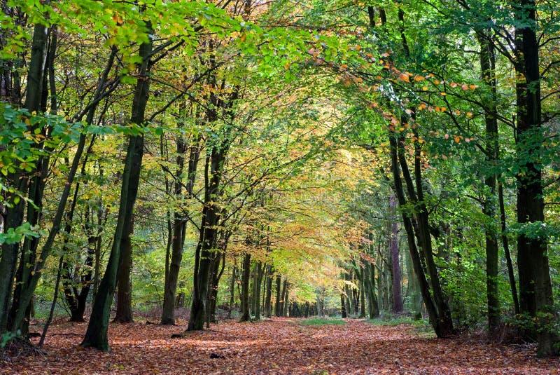 Beautiful Woodland Avenue In Autumn Stock Photos