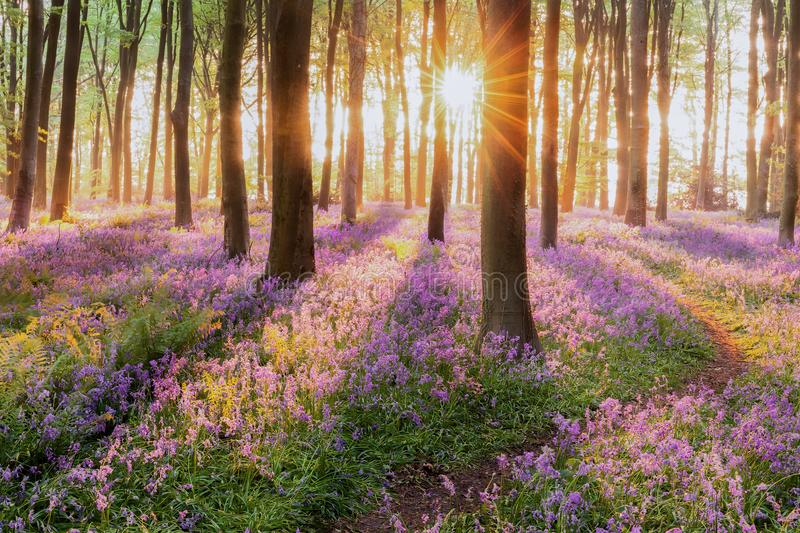 Bluebell forest path at sunrise royalty free stock images