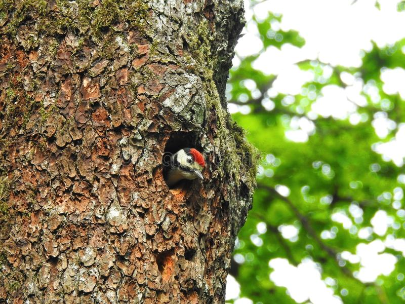 Beautiful woodpecker bird in his nest, Lithuania stock image