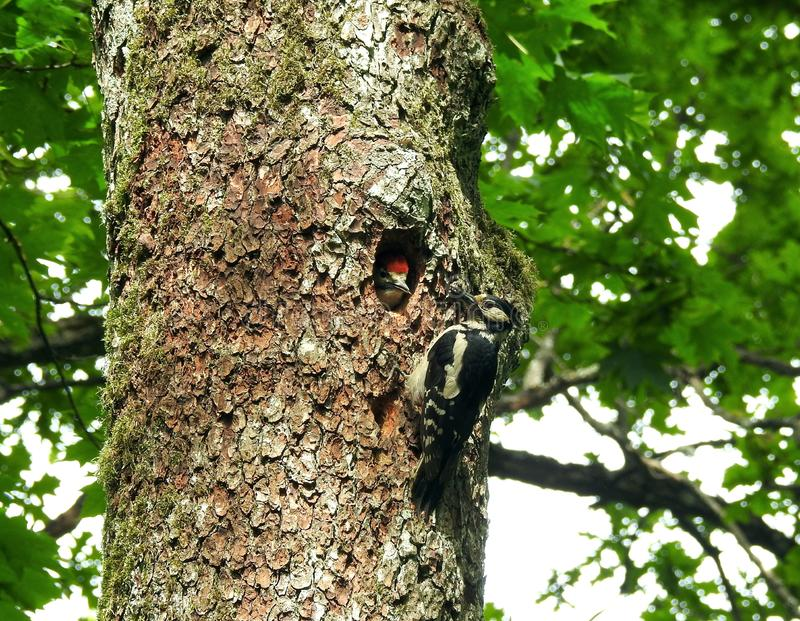 Beautiful woodpecker bird near his hollow with kid, Lithuania stock image