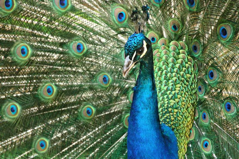 Beautiful wooing peacock from close-up. Fantastic colors and patterns royalty free stock photography
