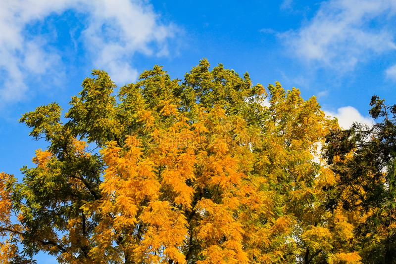 Beautiful yellow autumn acacia tree, on a background of blue sky in autumn in October stock image