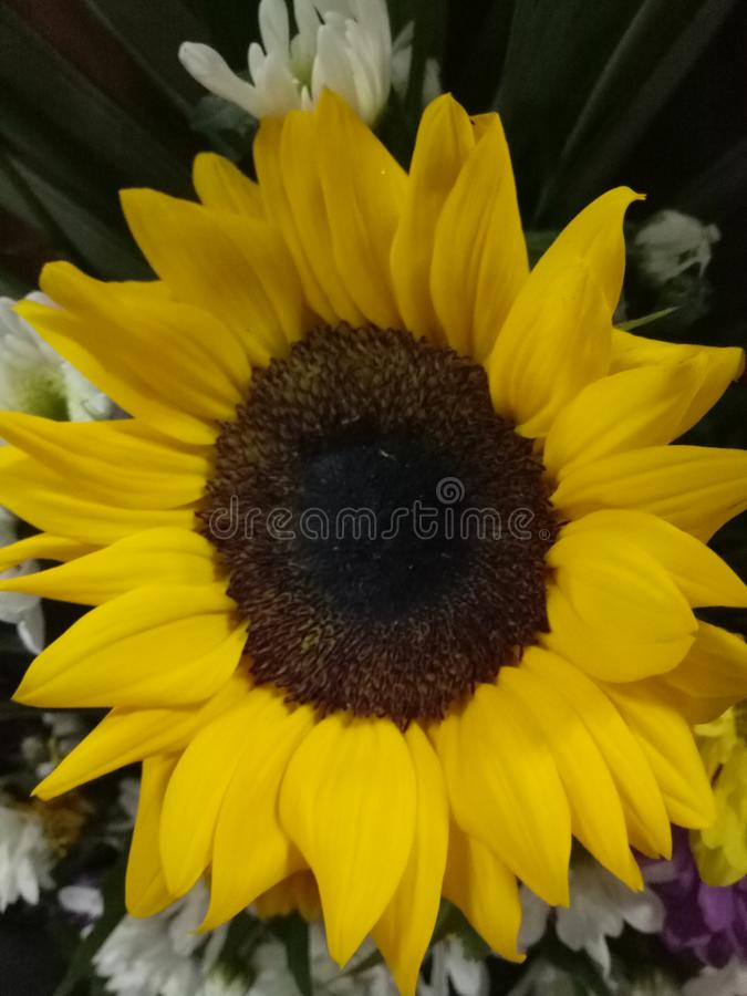A beautiful big yellow sunflower blooming. Beautiful yellow big sunflower blooming stock photography