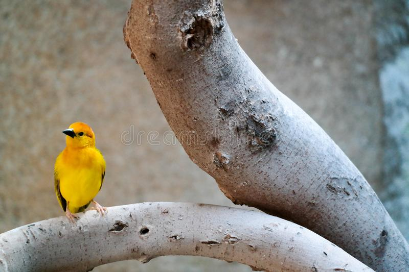 Beautiful Yellow bird perched on a tree branch. Western Tanager yellow bird with black wings and orange head perched and posing for the camera stock image