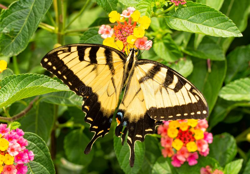 Beautiful yellow and black Eastern Tiger Swallowtail butterfly royalty free stock photo