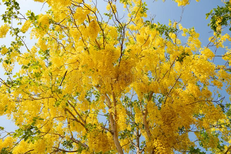 Beautiful yellow blooming flowers, Yellow Thai flower, Leaves of the Golden Shower Tree or the Golden Rain Tree  in summer  use as stock image