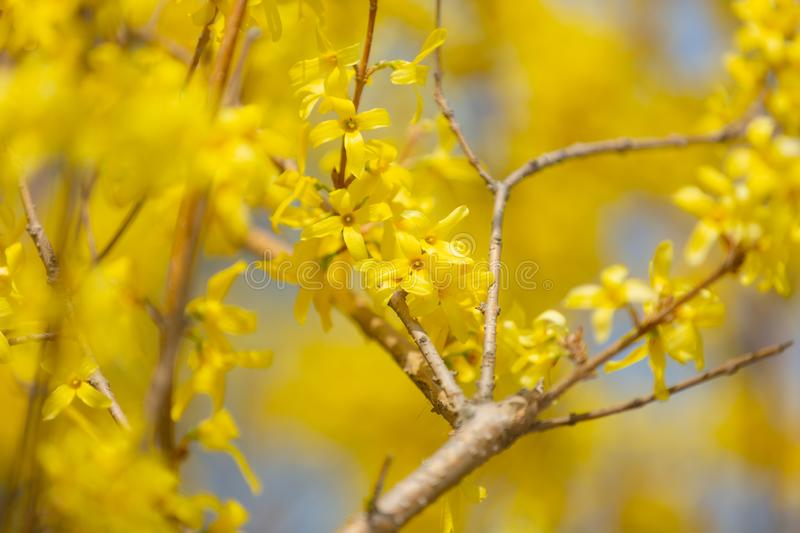 Beautiful Yellow blooming Forsythia flowers in spring, blue sky on background. Yellow blooming Forsythia flowers in spring, blue sky on background. Natural royalty free stock photos