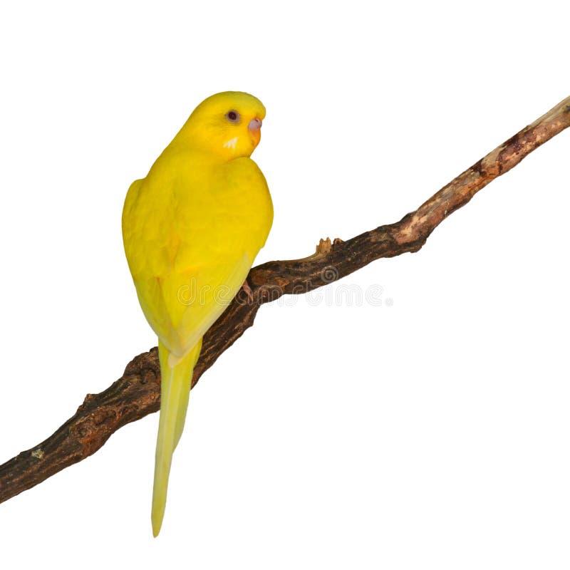 Beautiful yellow Budgerigar bird stock photography