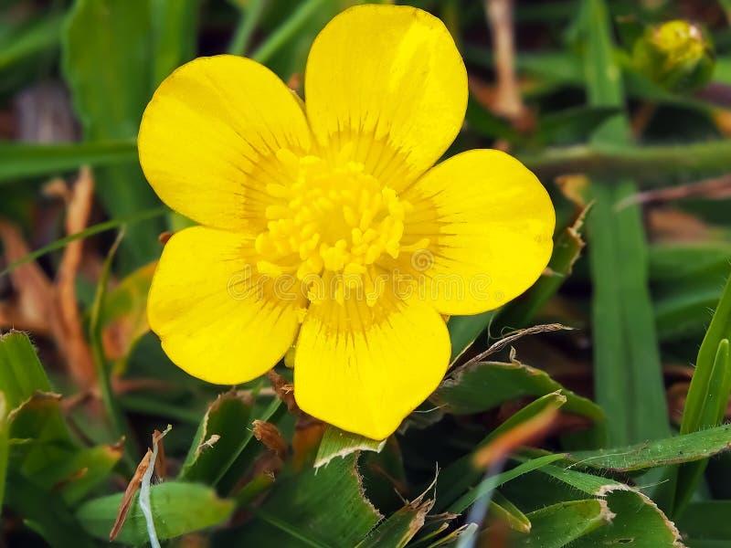 Beautiful yellow buttercup flower stock photos