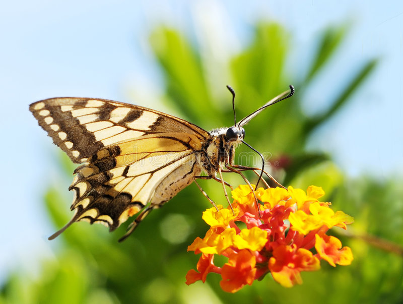 Beautiful yellow butterfly royalty free stock photography