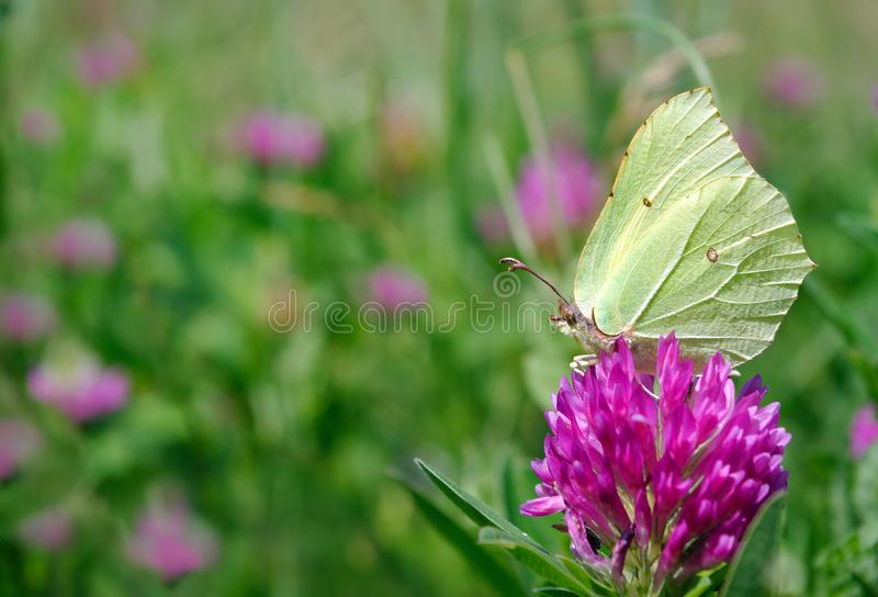 beautiful yellow butterfly on a flowering meadow. flowering clover. common brimstone butterfly. stock images