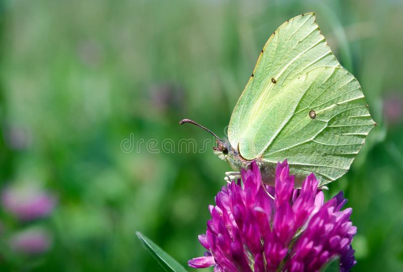 Beautiful yellow butterfly on a flowering meadow. flowering clover. common brimstone butterfly. stock photos