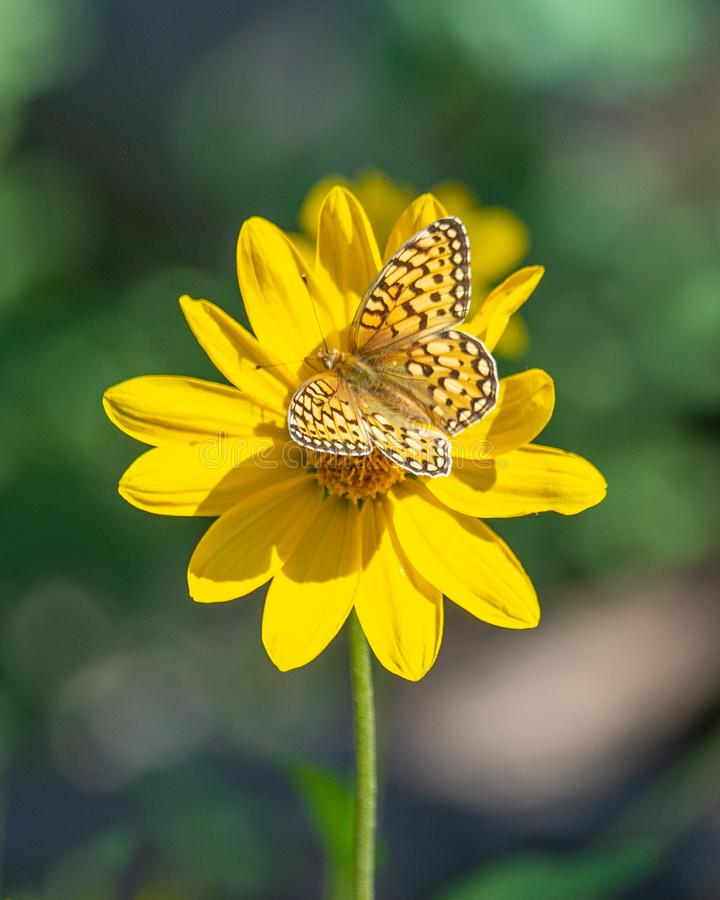 Bright yellow butterfly on a yellow flower royalty free stock photo