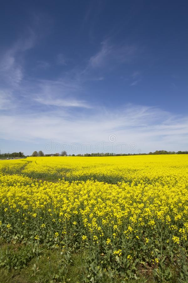 Alabama Farm Field Canola Crop. This is the beautiful yellow canola crop in Limestone County Alabama USA stock images