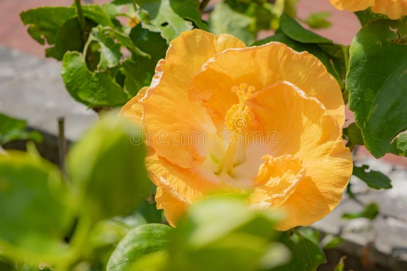 The Beautiful yellow Chinese rose flower Hawaiian hibiscus on a green filed background. Is isolated stock photo
