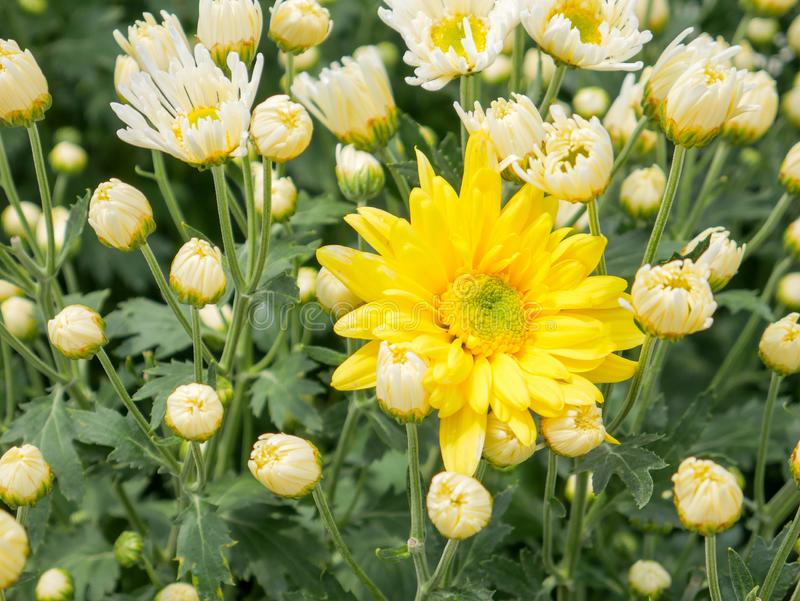 A beautiful yellow Chrysanthemum flower with garden. View background stock images