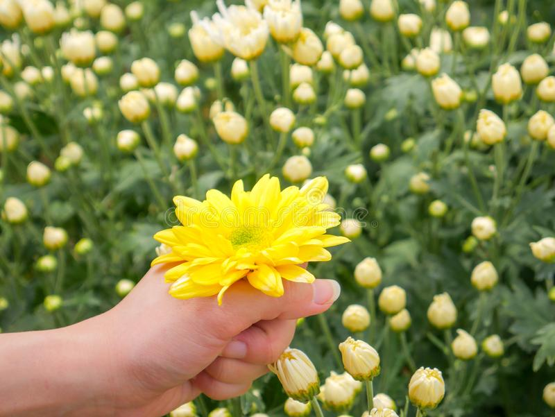 A beautiful yellow Chrysanthemum flower in a hand with garden. View background royalty free stock image
