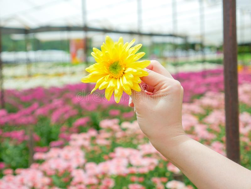 A beautiful yellow Chrysanthemum flower in a hand with garden. View background royalty free stock photo