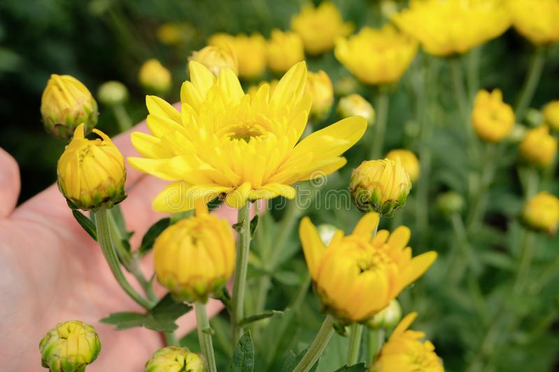A beautiful yellow Chrysanthemum flower in a hand with garden view background. Close up yellow chrysanthemum flower bloom beautiful, flower in garden, The stock photo