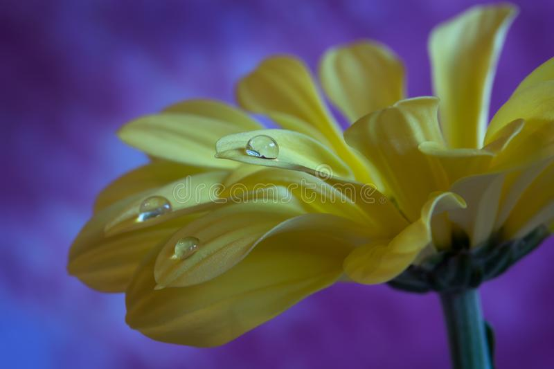 Beautiful Yellow Chrysanthemum flower whit water drops on a purple background. Closeup royalty free stock photography