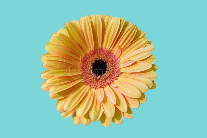 Beautiful yellow close up daisy flower isolated on light blue background. Nice gerbera stock photos