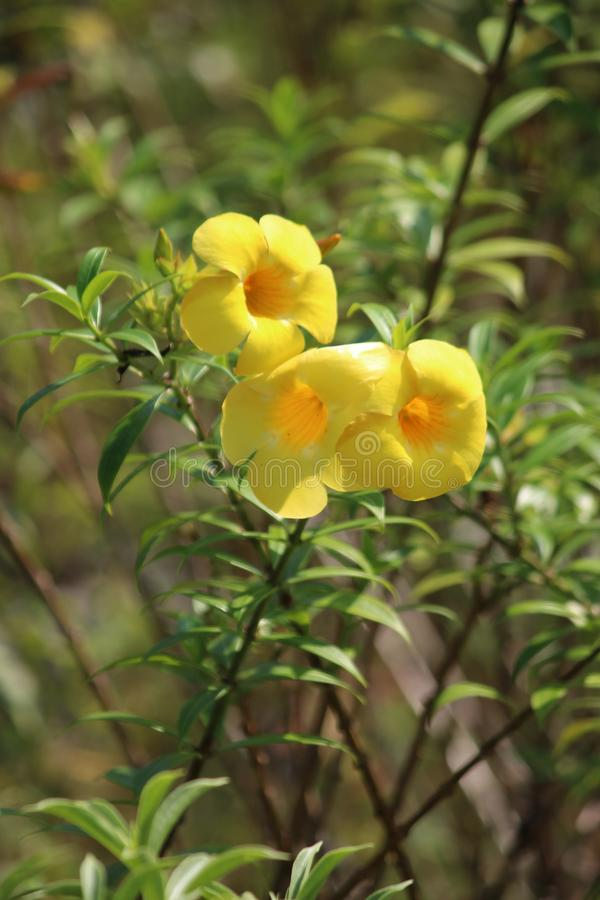 Beautiful yellow color flowers in the garden. Yellow color small flowers image. This image quality is high royalty free stock images