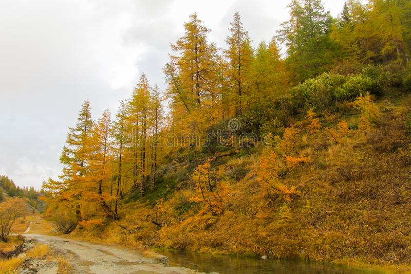 Beautiful yellow colors of autumn in the mountain valley. Tour du MontBlanc, Italy, Switzerland and France mountains in autumn rainy day royalty free stock image