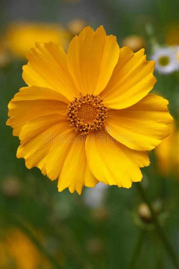 Beautiful yellow coreopsis flower closeup stock photos