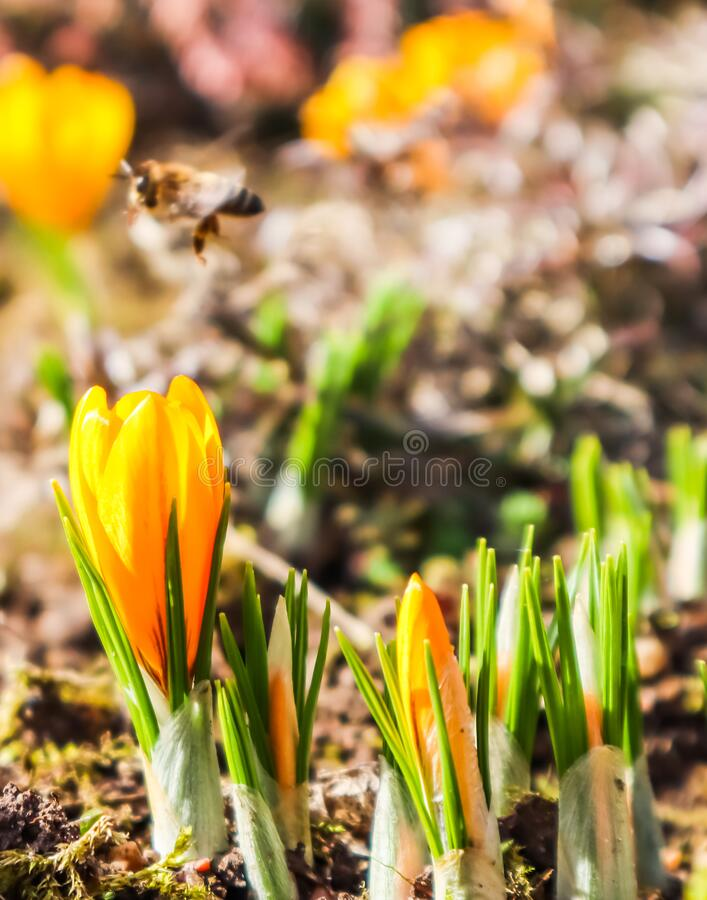 Beautiful yellow crocus flowers with bee in spring garden.  royalty free stock images