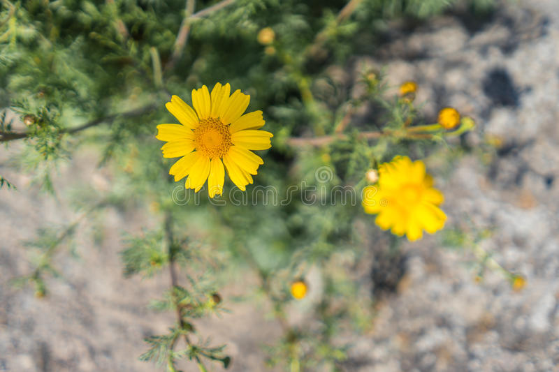 Beautiful yellow daisy flower in bright outdoor daylight stock image