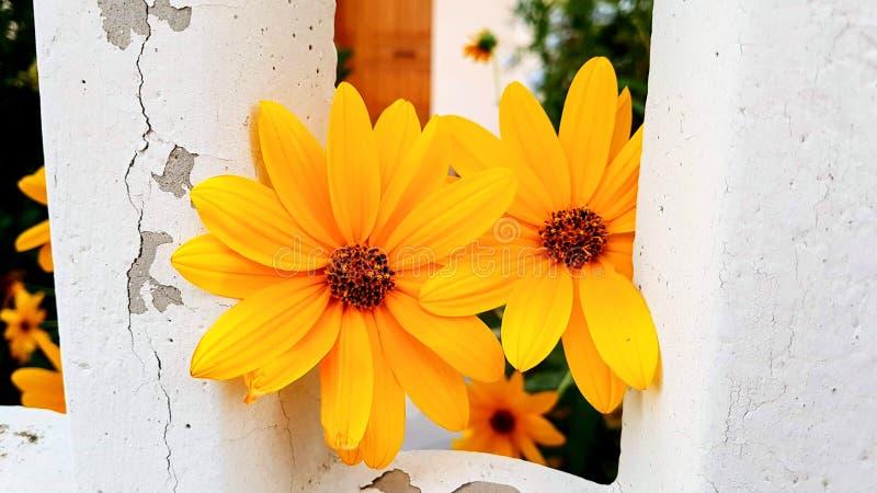 Beautiful yellow daisy flowers. Close up royalty free stock photos
