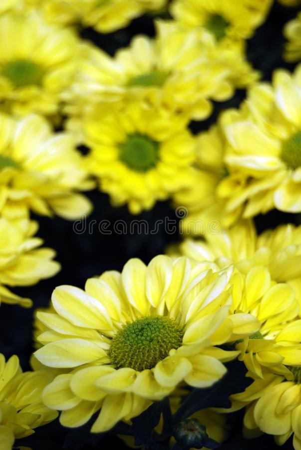 Beautiful yellow daisy gerbera flower  in the garden , soft focus stock photos